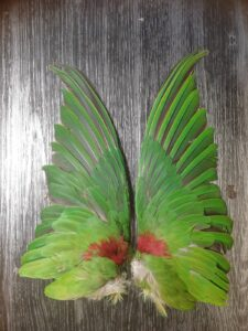 Alexander parkiet vleugels