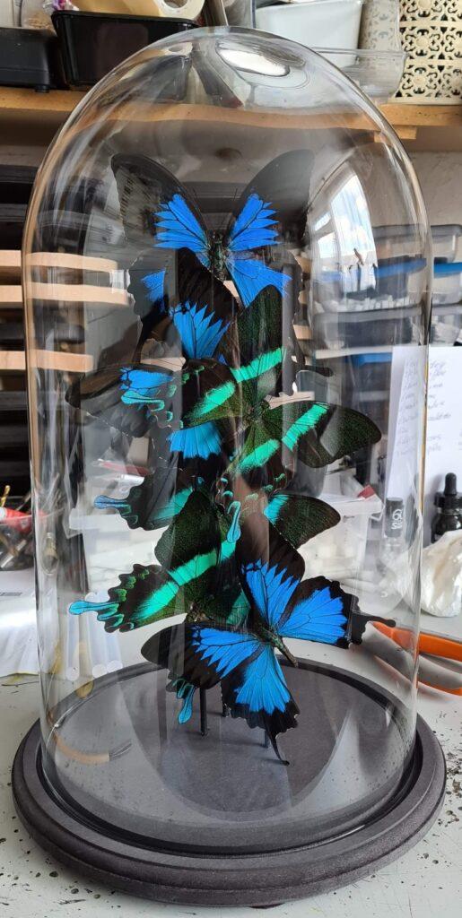 3 Papilio Ulysses en 3 Papilio blumei indonesia